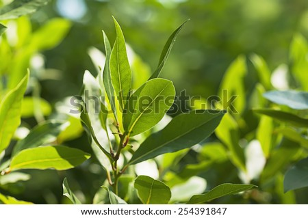 Green bay leaf growing in nature, spice ingridient background - stock photo