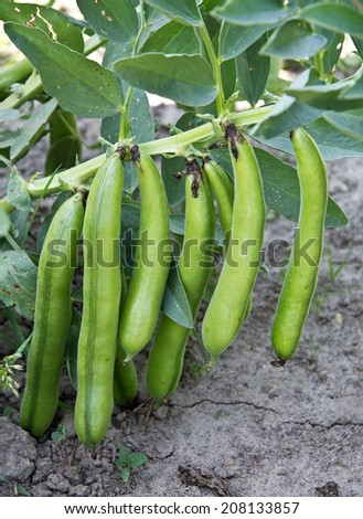 Green beans growing - stock photo