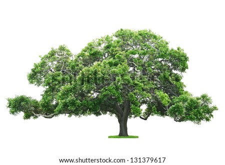 Green beautiful and big tree isolated on white background - stock photo