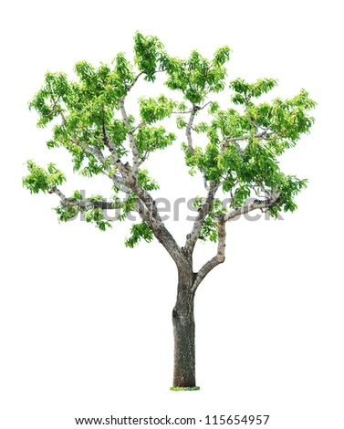 Green beautiful and young  tree isolated on white background - stock photo