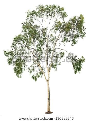 Green beautiful  eucalyptus tree isolated on white background - stock photo