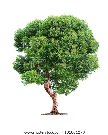 Green beautiful  tree isolated on white background - stock photo
