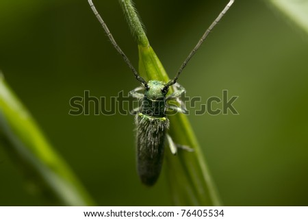green bedbug with long antennas sitting on a plant - stock photo