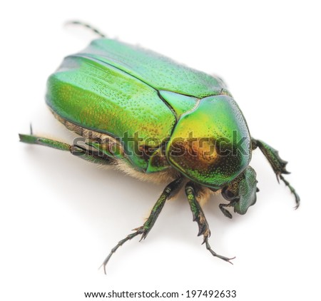 green beetle insect rose chafer (cetonia aurata) isolated on white background - stock photo