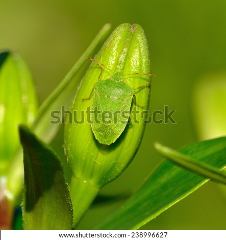 Green beetle on lilium bud - stock photo