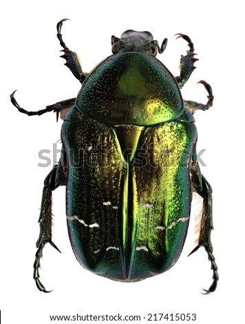 Green beetle. Rose chafer (cetonia aurata) isolated on white background  - stock photo