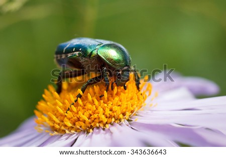 green beetle sitting on a purple daisy - stock photo