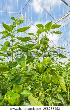 Green bell peppers growing inside a Dutch greenhouse - stock photo
