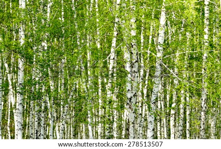 green birch forest in the spring - stock photo