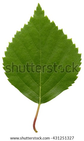 Green birch leaf isolated on white background - stock photo