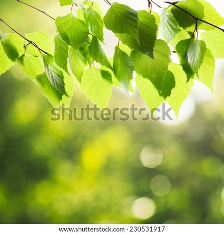 Green birch leaves over defocused nature background and sunlight - stock photo