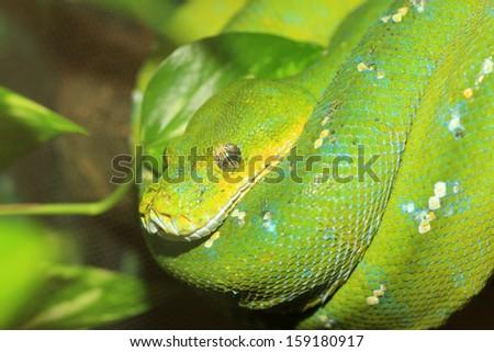 Green Boa or Green tree python (Morelia viridis) in North Australia - stock photo