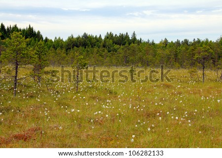 Green bog with flowering Cottongrass (Eriophorum) at summer in Lapinsuo, Salo, Finland June 2012. - stock photo