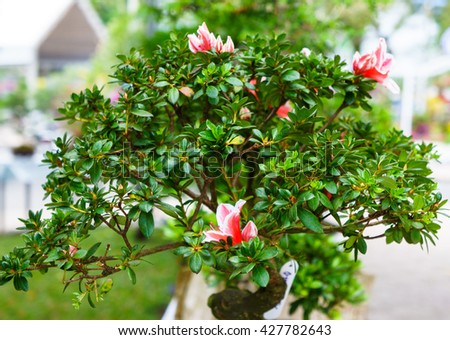 green bonsai tree in garden. - stock photo