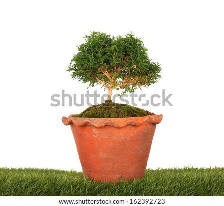 green bonsai tree Isolated on white background - stock photo