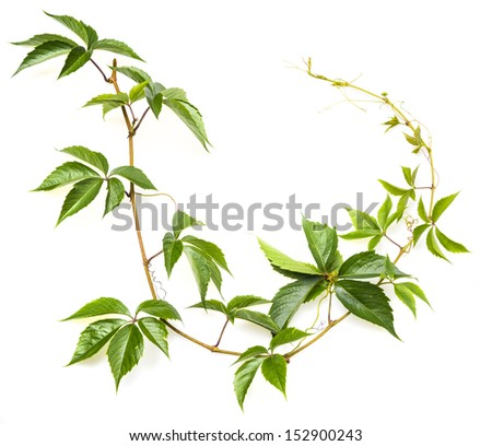 green branch on a white background - stock photo