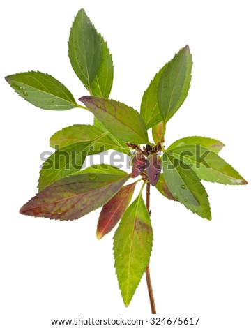 Green branch with leaves, isolated on white background. Close-up. - stock photo