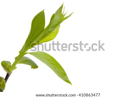 Green branch, young sprouts with leaves, isolated on white background and an empty place for your text. Close-up. - stock photo
