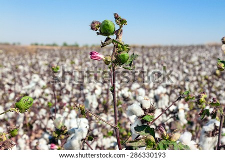 Green bud of cotton with a bright pink flower on a field - stock photo