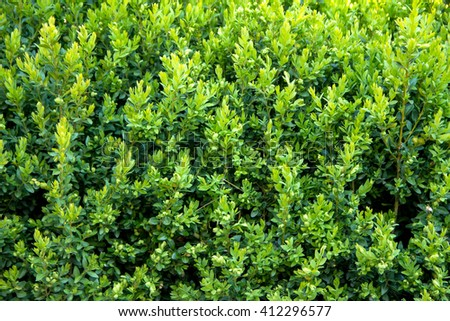 Green bush leaves wall background - stock photo