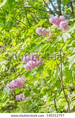 Green bush with spring lilac (syringa) flowers   - stock photo