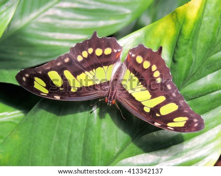 green butterfly, sitting on a tropical fern - stock photo