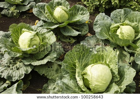 green cabbage in the garden - stock photo