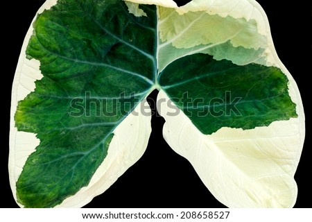 green caladium leaf that look like lung shape on black background - stock photo