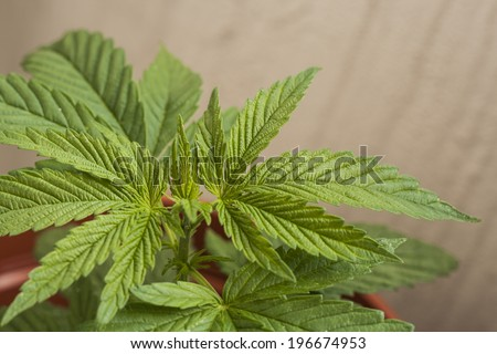 green cannabis plant  - stock photo