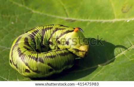 Green caterpillar looking beautiful on green leaf - stock photo