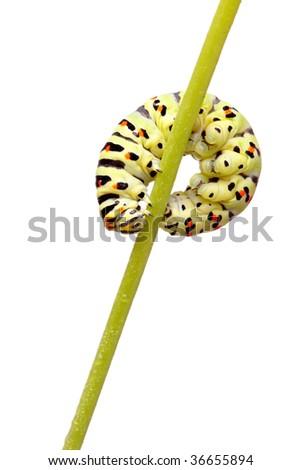green caterpillar of swallowtail isolated on white - stock photo
