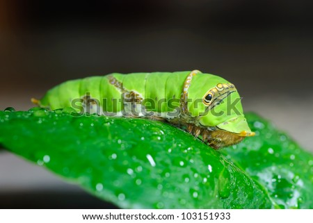 Green caterpillar on a leaf. - stock photo