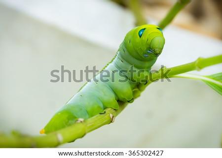 Green Caterpillar on branch - stock photo