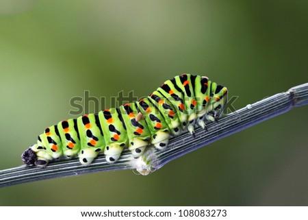 Green caterpillar - papilio machaon - stock photo