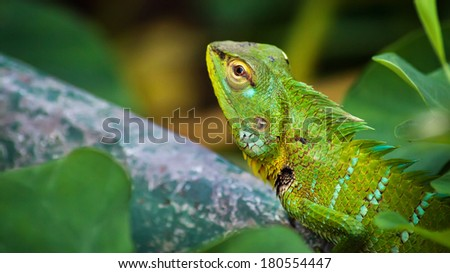 Green chameleon among leaves in the tropical forest - stock photo