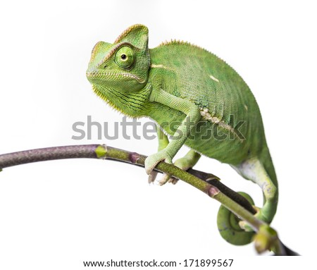 green chameleon - Chamaeleo calyptratus - stock photo