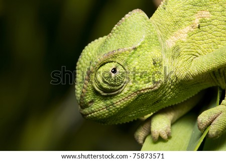 green chameleon on a leaf watching - stock photo