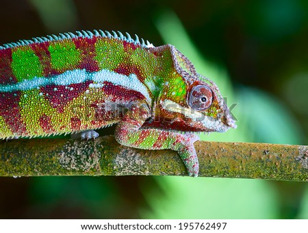 Green chameleon on the green grass - stock photo