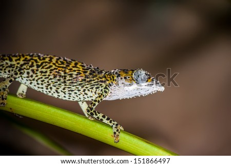 Green chameleon walking on on a blade of grass. - stock photo