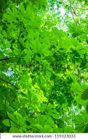 Green chestnut foliage background - stock photo