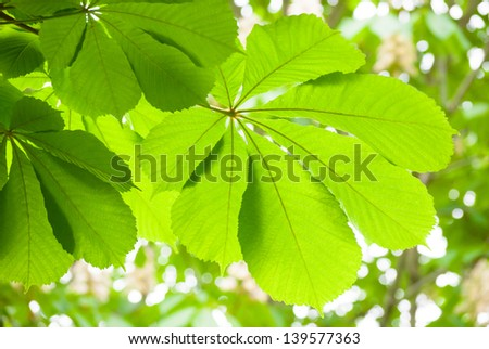 Green chestnut leaf in spring isolated, in front of trees - stock photo