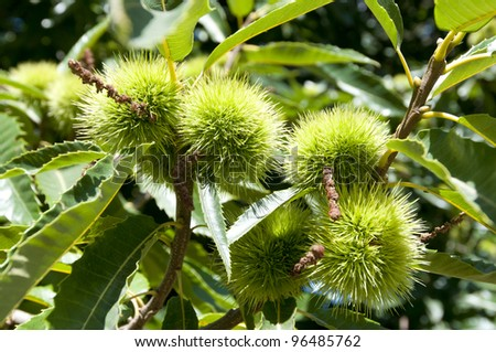 green chestnut tree in summer - stock photo