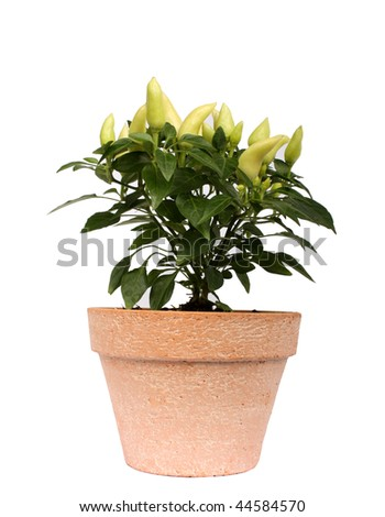 Green chilly plant - stock photo