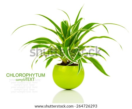 green Chlorophytum plant in the pot - stock photo