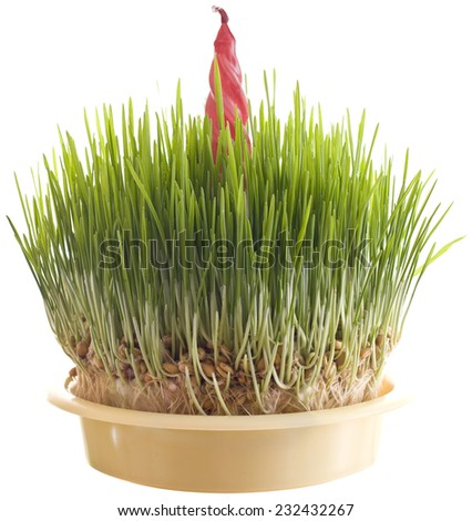 Green Christmas Wheat with Candle Isolated on White Background - stock photo
