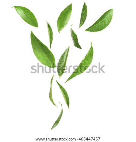Green citrus leaves, isolated on white - stock photo