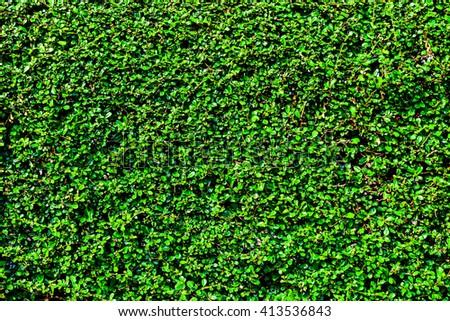 Green Climber tree on the wall - stock photo