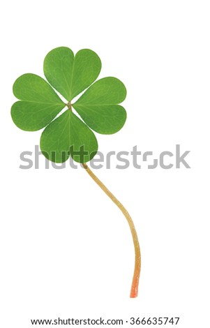 Green clover four leaf isolated on white background. This has clipping path. - stock photo