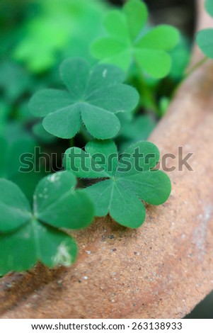 Green Clover leaf - stock photo