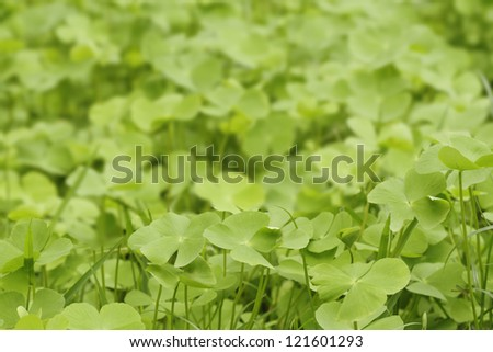 Green Clover leaf background - stock photo